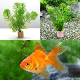 (金魚)(水草)ライフマルチ(茶) メダカ・金魚藻セット+よりなし琉金 素赤〜更紗(3匹)