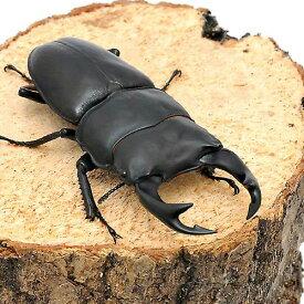 (昆虫)国産オオクワガタ 産地累代数不明 幼虫(初〜2令)(5匹)