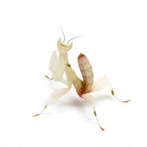 (昆虫)ランカマキリ(ハナカマキリ)(WD)(1ペア) 北海道・九州航空便要保温
