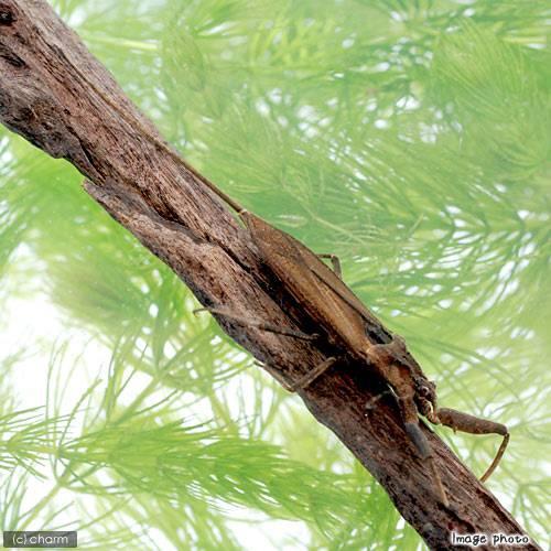 (昆虫)タイコウチ(1匹) 北海道航空便要保温