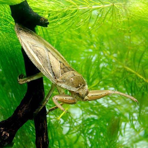 (昆虫)タガメ 成虫 オス(1匹) 北海道航空便要保温