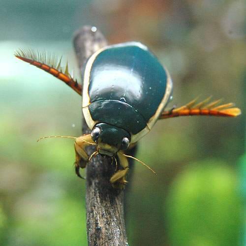 (昆虫)ゲンゴロウ メス(1匹)