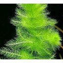 (水草)メダカ・金魚藻 ウトリクラリア アウレア(ノタヌキモ)(無農薬)(10本)