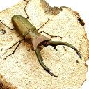 (昆虫)トルンカートゥスホソアカクワガタ スマトラ デンポー産 成虫(WD)75〜79mm(1ペア) 北海道航空便要保温