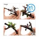 (水草)おまかせブセファランドラ1株付きミニ流木(約7cm)(無農薬)(1個)