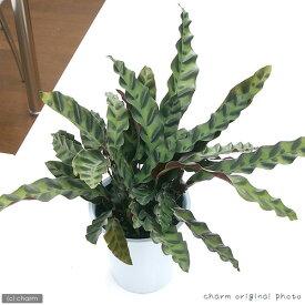 (観葉植物)カラテア インシグニス 4号(1鉢)