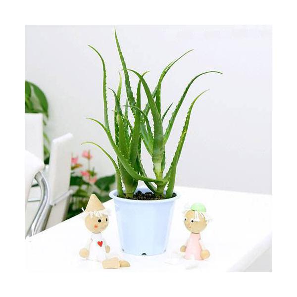 (観葉植物)アロエ こだわりアロエ(有機栽培・無農薬) 5号(1鉢)