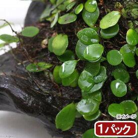 (観葉植物)苔 マメヅタ 1パック分