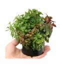 (水草)ハニカムシェルター 寄せ植えミックス Ver.ルドウィジア(水上葉)(無農薬)(1個) 北海道航空便要保温