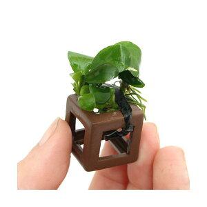 (水草)組織培養 エビの隠れ家 アヌビアスナナ付 (無農薬)(1個) 北海道航空便要保温