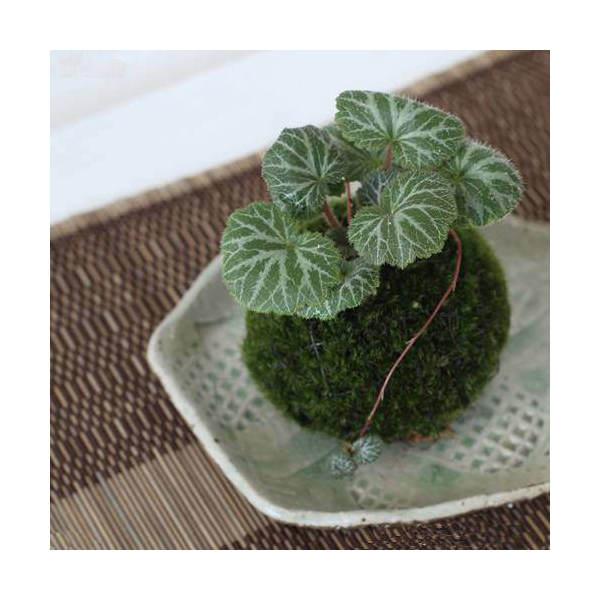 (盆栽)苔玉 ユキノシタ(1個) 観葉植物 コケ玉