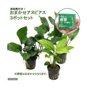 (水草)おまかせアヌビアス3種セット(計3ポット分)+水草その前に1g(2L用)