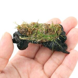 (水草)巻きたて ロックウール付 ヘアーグラスショート ミニ流木(無農薬)(3本) 北海道航空便要保温