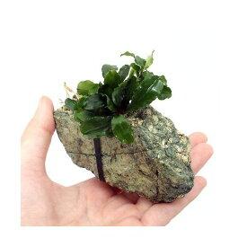 (水草)巻きたて ブセファランドラsp.グリーンウェービー 風山石Sサイズ(1個)