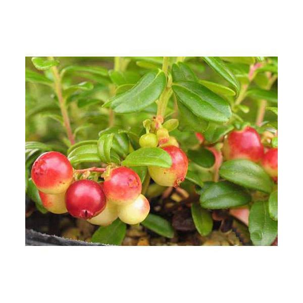 (山野草)盆栽 大実コケモモ(リンゴベリー・カウベリー)2〜3.5号(1ポット) 家庭菜園
