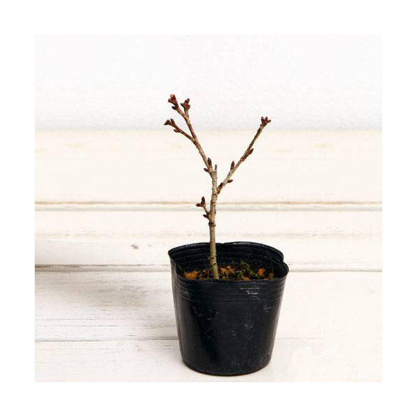 (盆栽)サクラ(桜) 御殿場桜 樹高10cm〜25cm前後 3号(1ポット)