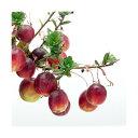 (山野草)盆栽 大実ツルコケモモ (クランベリー 蔓苔桃)3〜3.5号(1ポット) 家庭菜園 (休眠株)