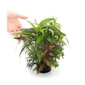 (水草)ハニカムシェルター 寄せ植えミックス(水上葉)大型水槽向け(無農薬)(1個) お一人様3点限り