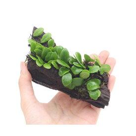 (観葉植物)テラ向け マメヅタ付き流木 Sサイズ(1本)