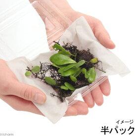 (観葉植物)苔 リュウキュウマメヅタ 半パック