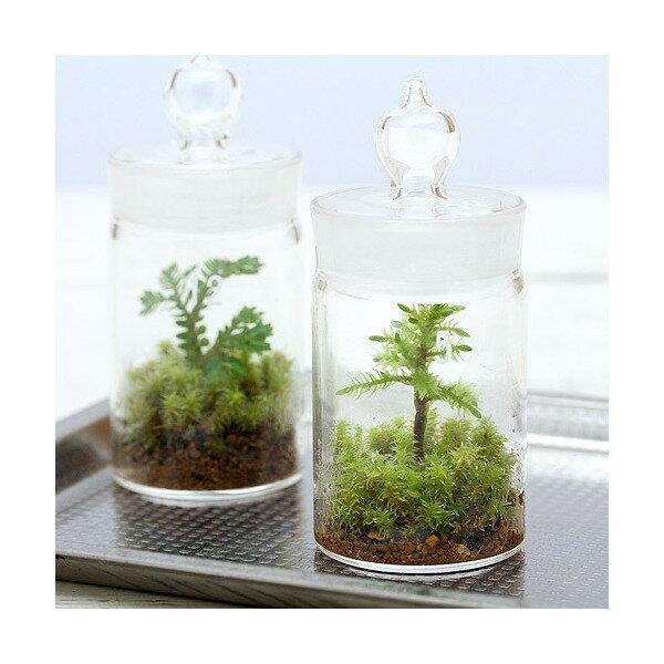 (観葉植物)苔Terrarium コウヤノマンネングサ ガラスボトルミニ 説明書付