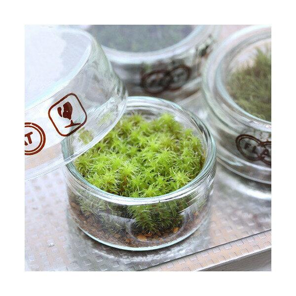 (観葉植物)苔Terrarium スナゴケ フラットシャーレ 説明書付 テラリウムキット 本州・四国限定