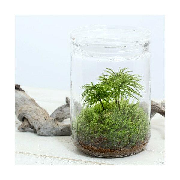 (観葉植物)苔Terrarium コウヤノマンネングサ ガラスボトルL 説明書付 テラリウムキット 本州・四国限定