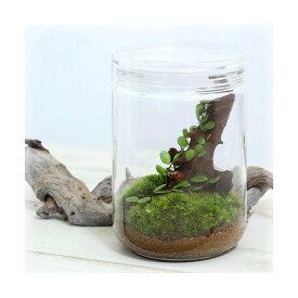(観葉植物)苔Terrarium マメヅタ ガラスボトルL 説明書付