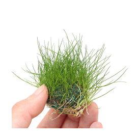 (水草)育成済 ヘアーグラスショートボール(水上葉)(無農薬)(3個)