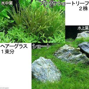 (水草)前景2種セット ヘアーグラス ショート(1束分)+ブリクサショート(2株分)