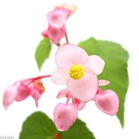 (山野草)シュウカイドウ(秋海棠) 3号(1ポット)原種ベゴニア