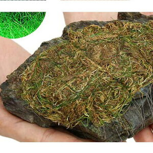 (水草)巻きたて ロックウール付 ヘアーグラスショート 風山石 Mサイズ(12〜15cm)(無農薬)(1個) 北海道航空便要保温