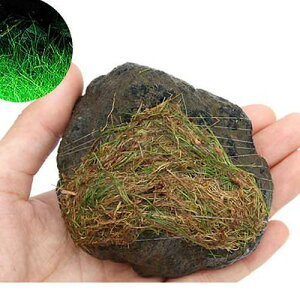 (水草)巻きたて ロックウール付 ヘアーグラスショート 溶岩石 Sサイズ(8〜12cm)(無農薬)(1個) 北海道航空便要保温