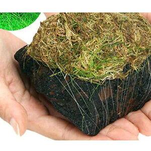(水草)巻きたて ロックウール付 ヘアーグラスショート 溶岩石 Mサイズ(12〜15cm)(無農薬)(1個)