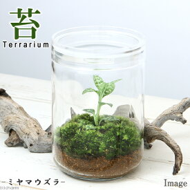 (観葉植物)苔Terrarium ミヤマウズラ ガラスボトルL 説明書付 ジュエルオーキッド