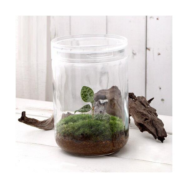 (観葉植物)苔Terrarium マコデスペトラ ガラスボトルL 説明書付 テラリウムキット ジュエルオーキッド 本州・四国限定