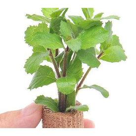 (水草)ライフマルチ(茶) ウォーターウィステリア(水上葉)(無農薬)(2個)