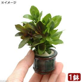(水草)豆鉢入り クリスマスカラーの寄せ植えミックス(1個)