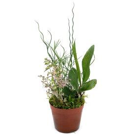 (ビオトープ)水辺植物 インスタントビオトープ Var.コケ絨毯(ハイゴケ)(寄せ植え)(1鉢)