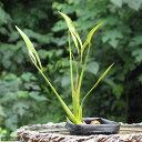 (ビオトープ/水辺植物)クワイ(10ポット分)