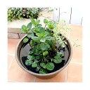 (ビオトープ/水辺植物)インスタント・ビオトープ LOWタイプ(寄せ植え)(1鉢)【HLS_DU】
