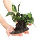 (水草)置くだけ簡単 レイアウト流木 アヌビアス2種付(1個)