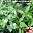 (水草)ビギナー向け水草 2種セット(グリーンロタラ+ハイグロフィラポリスペルマ)(水上葉)(各5本)