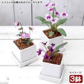 (山野草)おまかせスミレ 陶器鉢植え ニューダイスS WH(3鉢) 受け皿付き