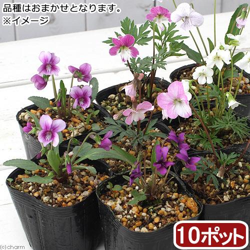 (山野草)スミレ(菫) 品種おまかせ 2〜3号( 10ポットセット)