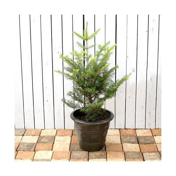 (観葉植物)同梱不可・中型便手数料 すぐ飾れる! 本物のもみの木 ウラジロモミノキ 鉢植え ブラック(1鉢)高さ1m前後 才数180