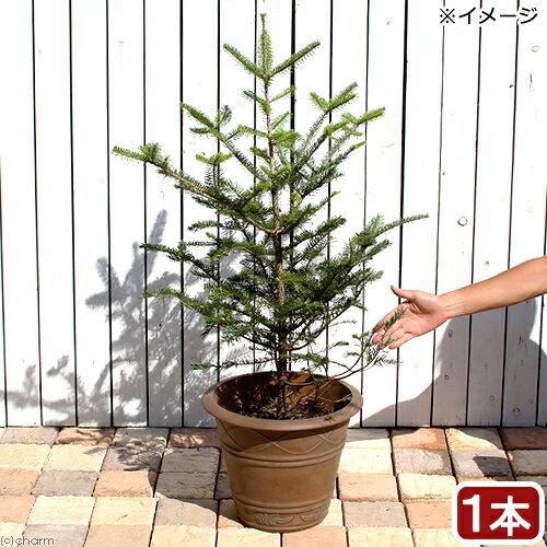 (観葉植物)同梱不可・中型便手数料 すぐ飾れる! 本物のもみの木 ウラジロモミノキ 鉢植え ブラウン(1鉢)高さ1m前後 才数180