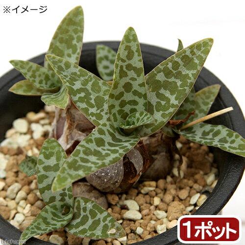 (観葉植物)レデボウリア ソシアリス ビオラセア 2.5号(1鉢)