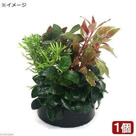 (水草)ハニカムシェルター ナナプチとクリスマスカラーの寄せ植えミックス(水上葉)(1個)