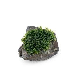 (水草)育成済 プレミアムグリーンモス 溶岩石(5〜8cm)(無農薬)(1個)